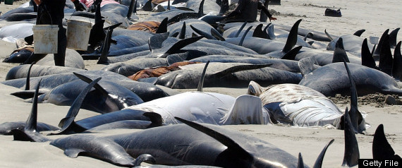PILOT WHALES DIE NEW ZEALAND