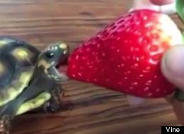 Nothing Is As Wonderful As A Baby Turtle Eating A Strawberry