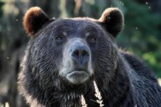 Bear | Pic: Getty