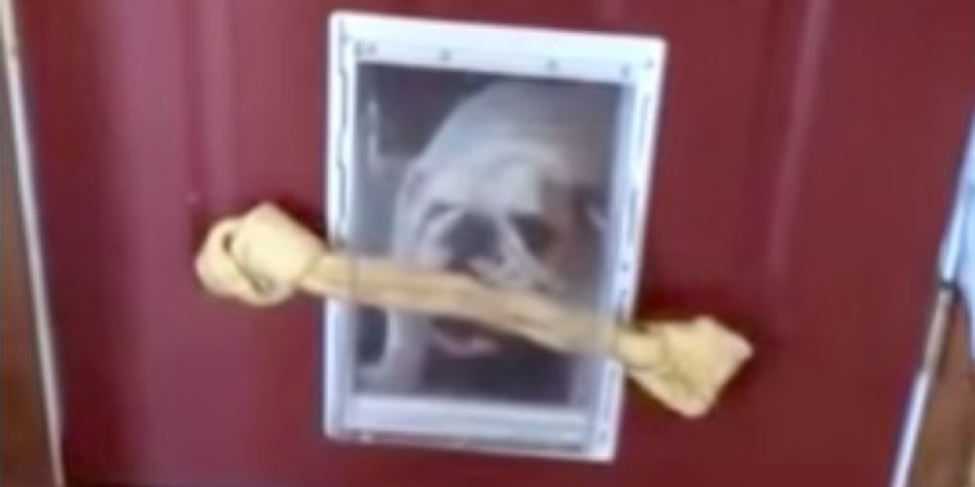Russet The Bulldog Struggles Mightily To Fit Bone Through Door
