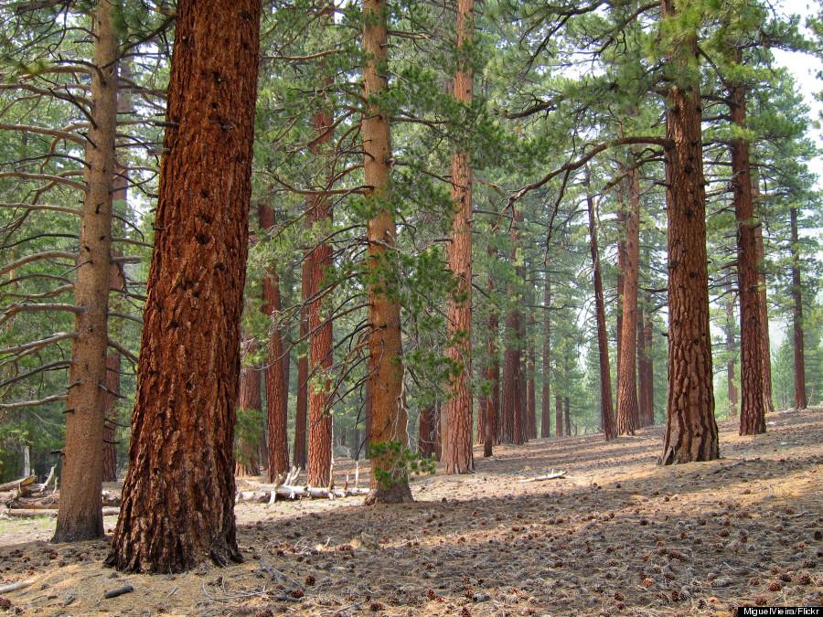california pines tree