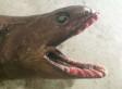 Fishermen Haul Up Super-Rare 'Living Fossil'