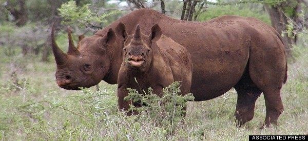 South Africa Moves 100 Rhinos To Undisclosed Locations