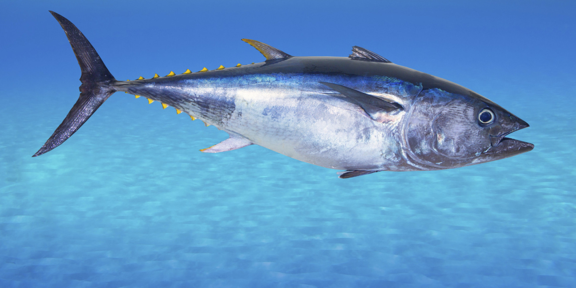 Geol431 vertebrate paleobiology for Tuna fish can