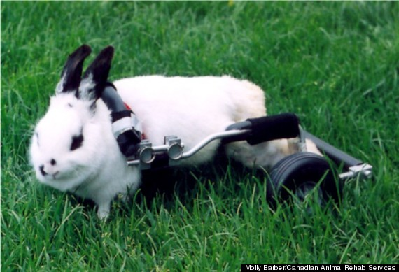 bunny wheelchair