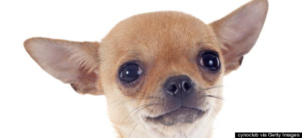 Man Kicks Chihuahua During Argument With Girlfriend, Killing Pet