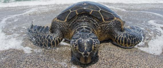 Rising Ocean Temperatures May Mean Sea Turtles Stop Basking On Land