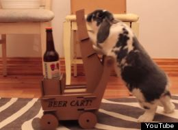 It's Genuinely Possible To Teach Rabbits To Deliver Beer By Cart