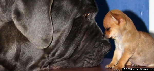 Tiny Chihuahua And Giant Mastiff Are BFFs At First Sight