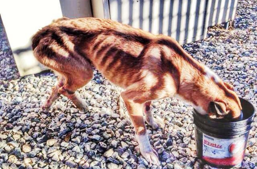 starved dog