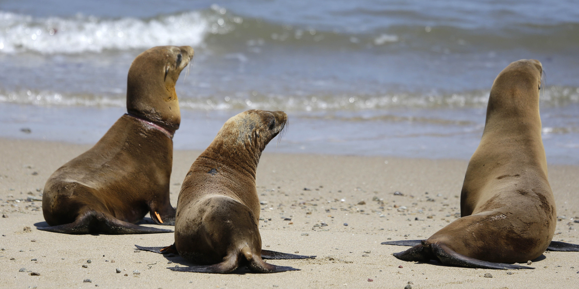 Record Sea Lion Pup Strandings Reported In Southern California