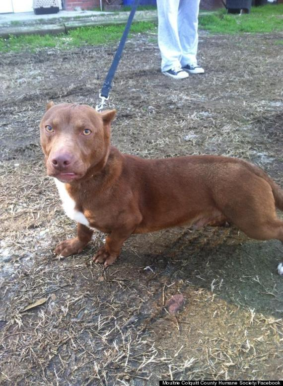 This Adorably Unusual Pit Bull-Dachshund Mix Is Real And Basically ...