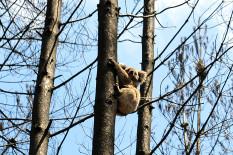 A koala in a tree | Pic: AP