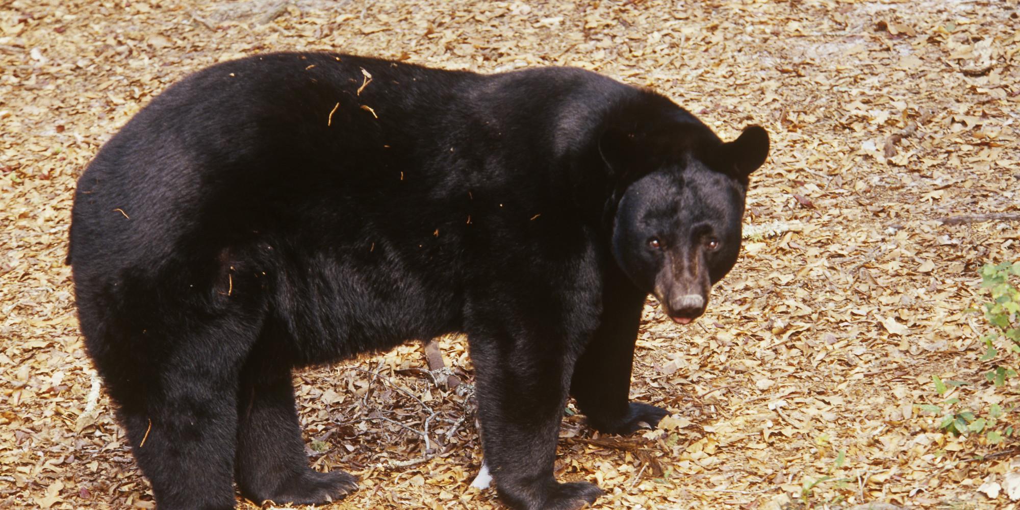 Florida Mulls Return Of Bear Hunts After Increase In Urban