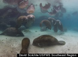 Manatee Party Shuts Down Florida Refuge In The Best Possible Way