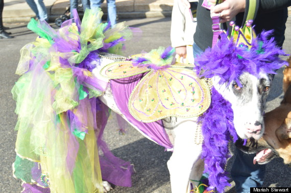 dog on mardi gras & Hundreds Of St. Louis Pets Strut Their Stuff At Mardi Gras Parade ...