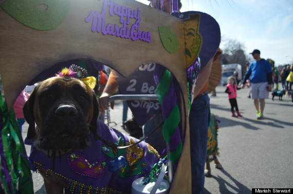 dog on mardi gras