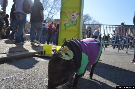 pig at mardi gras
