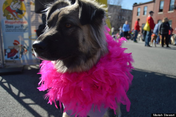 dog with boa