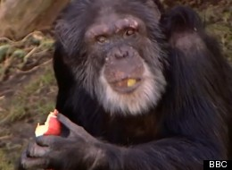 Chimps Show Off Amazing Vocal Abilities