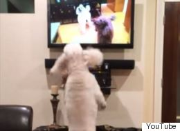 Incredibly Fluffy Poodle Goes Crazy Watching Itself On TV