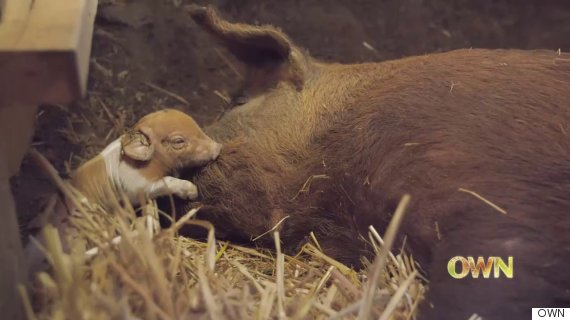 emma the pig with a piglet