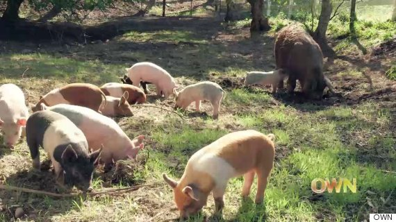 emma the pig and her piglets at apricot lane farms