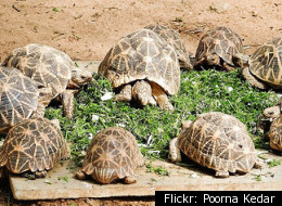 Indian Star Turtles