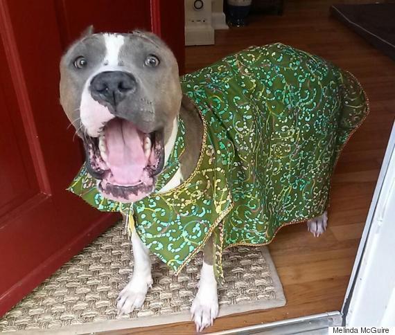 diamond pit bull