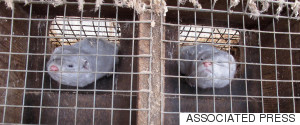 MINK FUR FARM