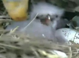 Live Eagle Egg Cam 2011