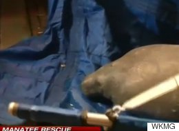 About 20 Manatees Rescued From Florida Storm Drain