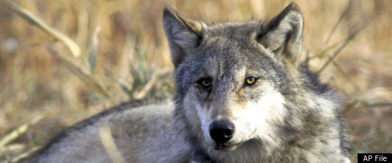 ENDANGERED WOLVES PROTECTIONS
