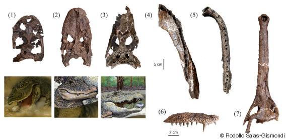 crocodile fossils