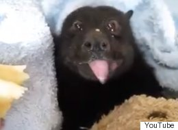 Bat Eating A Banana Is The Cutest Thing We've Seen Since The Slow Loris Craze