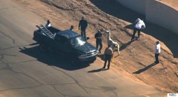 llama caught