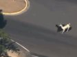 U.S. Military: Loose Llamas Had No Connection To ISIS