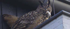 AGGRESSIVE OWL