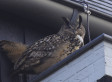 An Owl Is Now Attacking Pedestrians In The Netherlands, Too