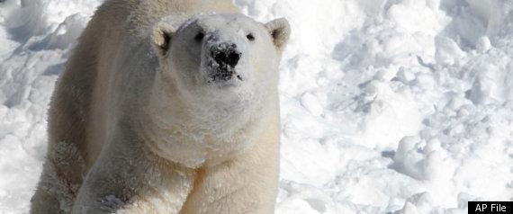 RUSSIA BANS POLAR BEAR HUNTING