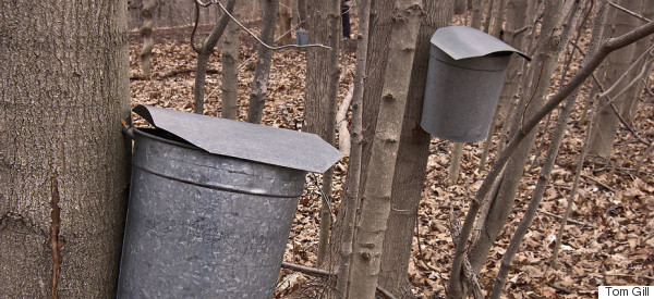 The Sweetest Time of the Year: Maple Sugar Time