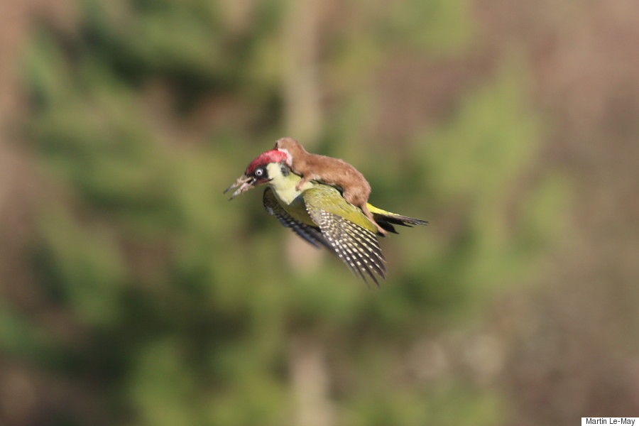 woodpecker weasel