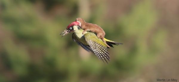 Weasel Flies Off On Woodpecker's Back On Amazing Adventure*