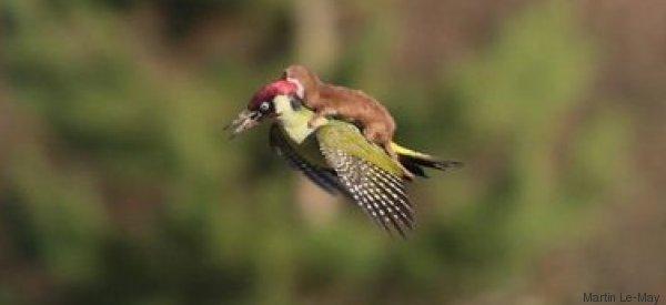 Hier fliegt ein Babywiesel auf dem Rücken eines Grünspechts