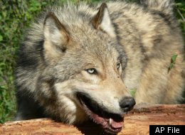 Wolves Endangered Congress