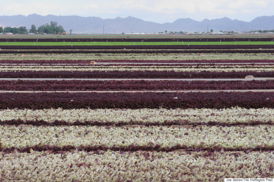 multicolor lettuce fields
