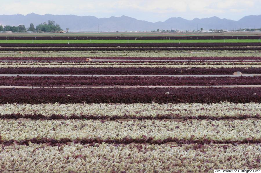 multicolor lettuce fields