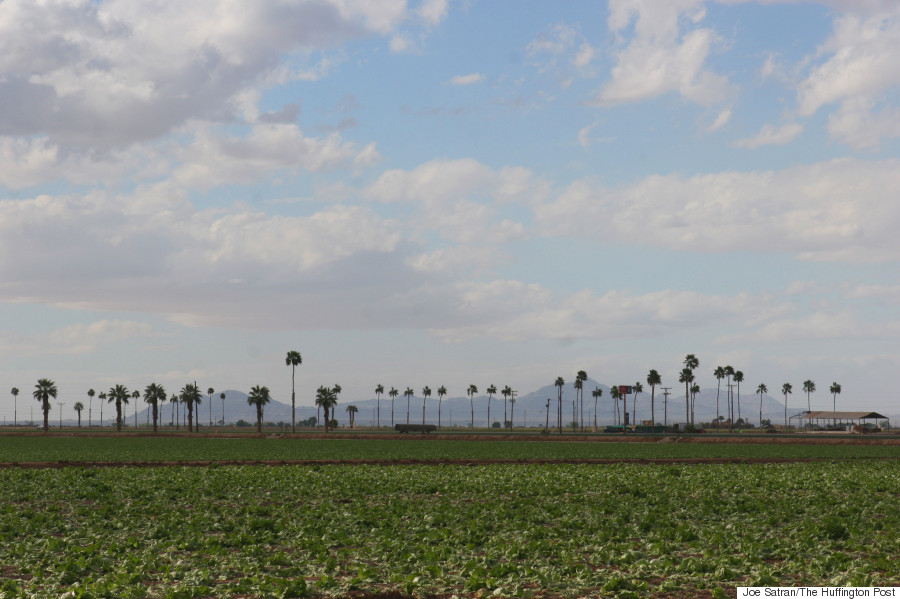 palm trees lettuce