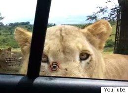 Increíble: Leona abre la puerta de un auto en un parque safari
