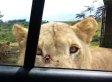 Lion Opens Car Door At Safari Park; Family Loses It